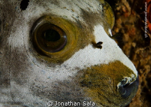 puffer face by Jonathan Sala 